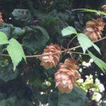 Golden hops growing in my garden